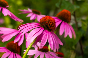 Purple cone Flower aka Echinacea